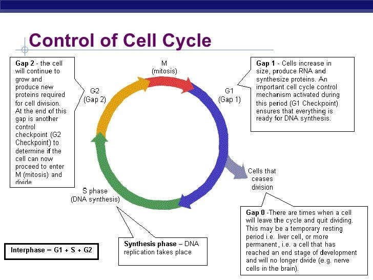 Cell Cycle Worksheet  Homeschooldressage