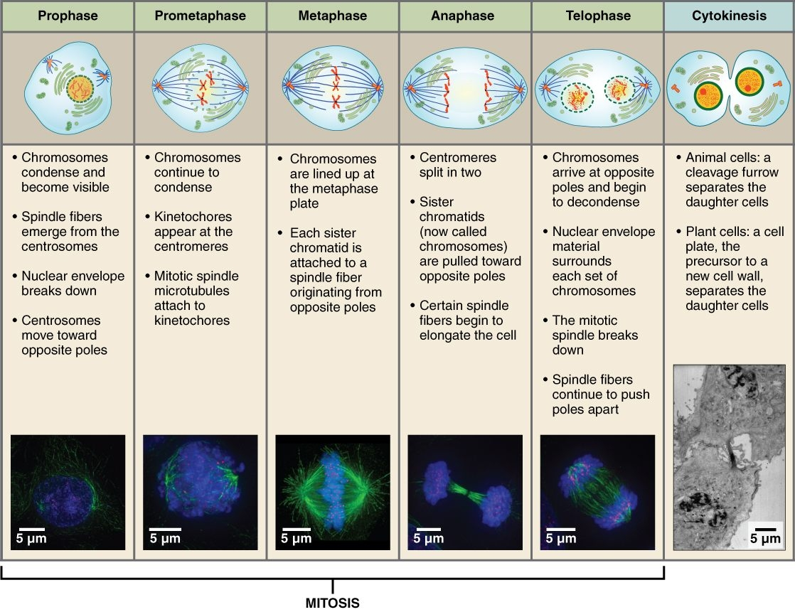 File Stages Of Mitosis And Cytokinesis