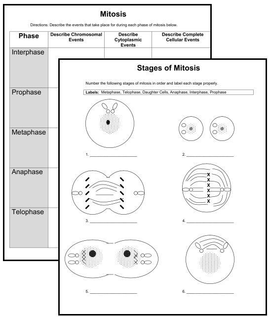Mitosis Phase Worksheets Answers