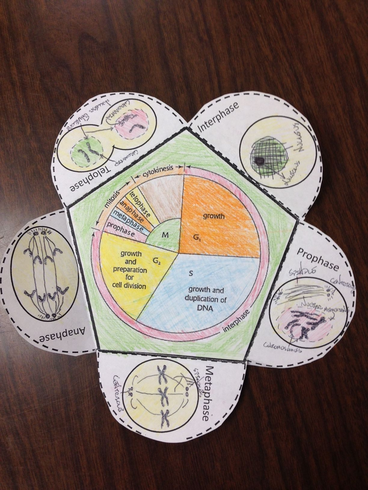 Product Preview  Cell Cycle Activity Cell Cycle Mitosis